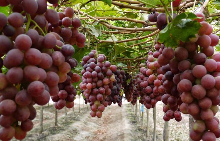 Chile ix simposio de uva de mesa se realizar en el 2020 minuta agropecuaria - Variedades de uva de mesa ...